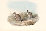 Lagorchestes Conspicillata By John Gould Wildlife Print