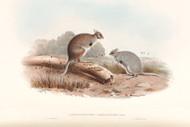 Lagorchestes Leporoides By John Gould Wildlife Print