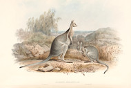 Macropus Fraenatus By John Gould Wildlife Print