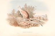 Macropus Unguifer By John Gould Wildlife Print