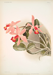 Cattleya Superba Splendens By Joseph Sander Floral Print