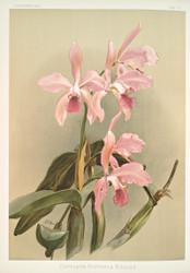 Cattleya Victoria Regina By Joseph Sander Floral Print