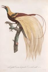 Le Petit Oiseau De Paradis Emeraude Male By Jacques Barraband