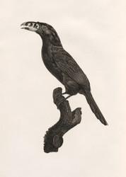 L Aracari Koulik Male Du Bresil By Jacques Barraband