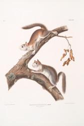 Sciurus Lanigunosus By John Audubon
