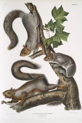 Sciurus Migratorius By John Audubon