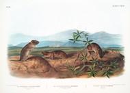 Arvicola Townsend By John Audubon