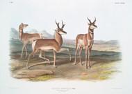 Antilope Americana By John Audubon