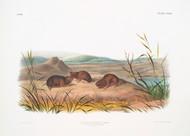 Arvicola Borealis By John Audubon
