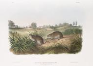 Arvicola Pennsylvanicus By John Audubon