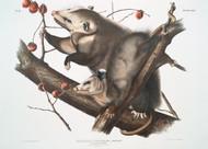 Didelphis Virginiana By John Audubon