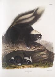 Mephitis Americana By John Audubon
