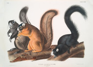 Sciurus Capistratus Fox Squirrel By John Audubon