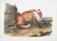 Vulpes Fulvus American Red Fox By John Audubon
