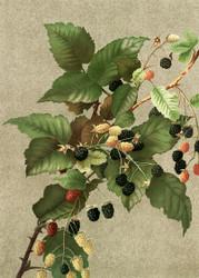 Blackberries  By Ellen T Fisher Floral Print