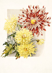 Daisies by James Callowhill Floral Print