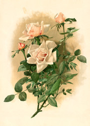 Duchesse De Vallombrosa Roses Thaddeus Welch Floral Print