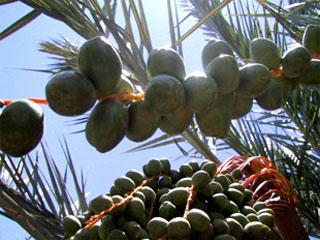 Date Palm Bud Strands