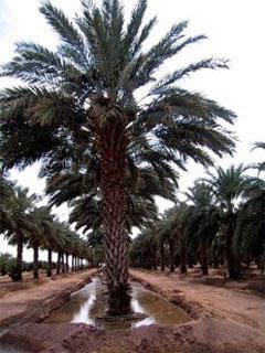 Date Palm Flood Irrigating