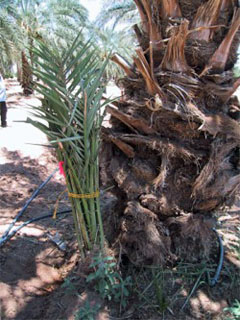 Date Palm Pup