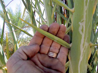 Date Palm Thorn