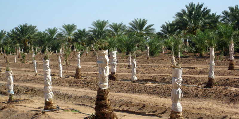 young-date-palms.jpg