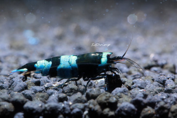 Taiwan Bee Shadow Panda Shrimp