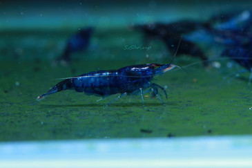 Dream Blue Velvet Shrimp