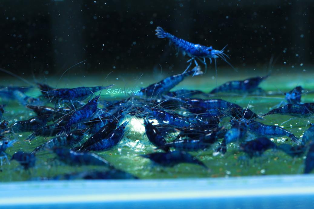 dream blue velvet shrimp soshrimp