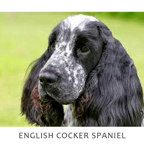 Cocker Spaniel English