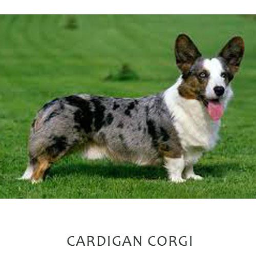 Corgi Cardigan