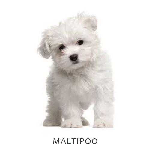 Maltipoo