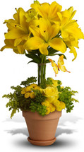 Yellow Fellow Lily Topiary