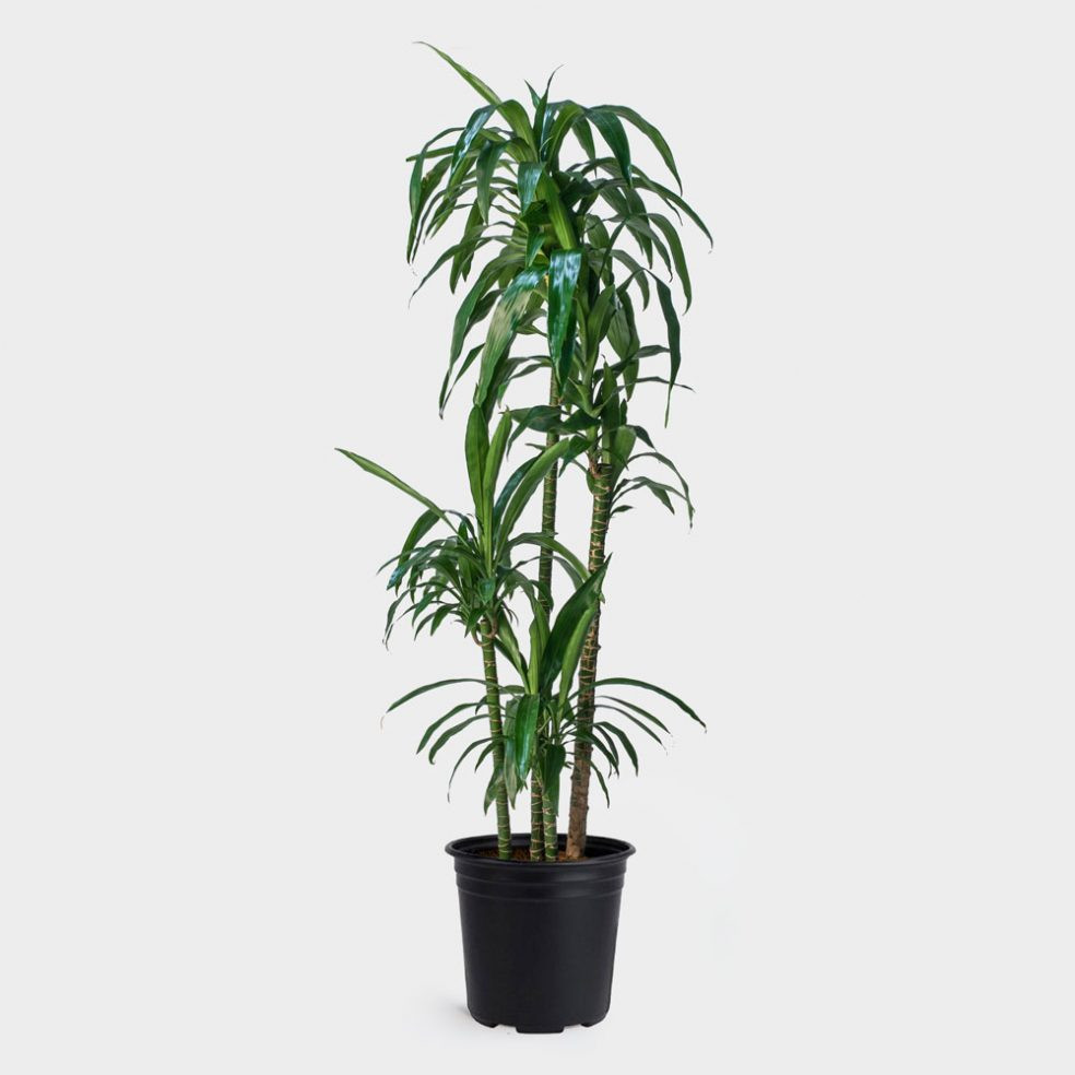 Local portland florist for delivery of flowers in portland oregon dracaena lisa izmirmasajfo