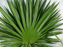 Palmetto (Fan) Palm