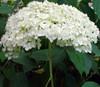 Hydrangea arborescens 'Annabelle' White Flower