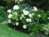 Annabelle Hydrangea Bush Behind Fence