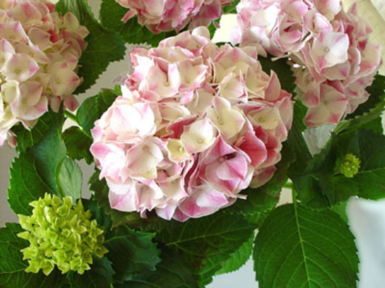 The *Grocery Store* hydrangea