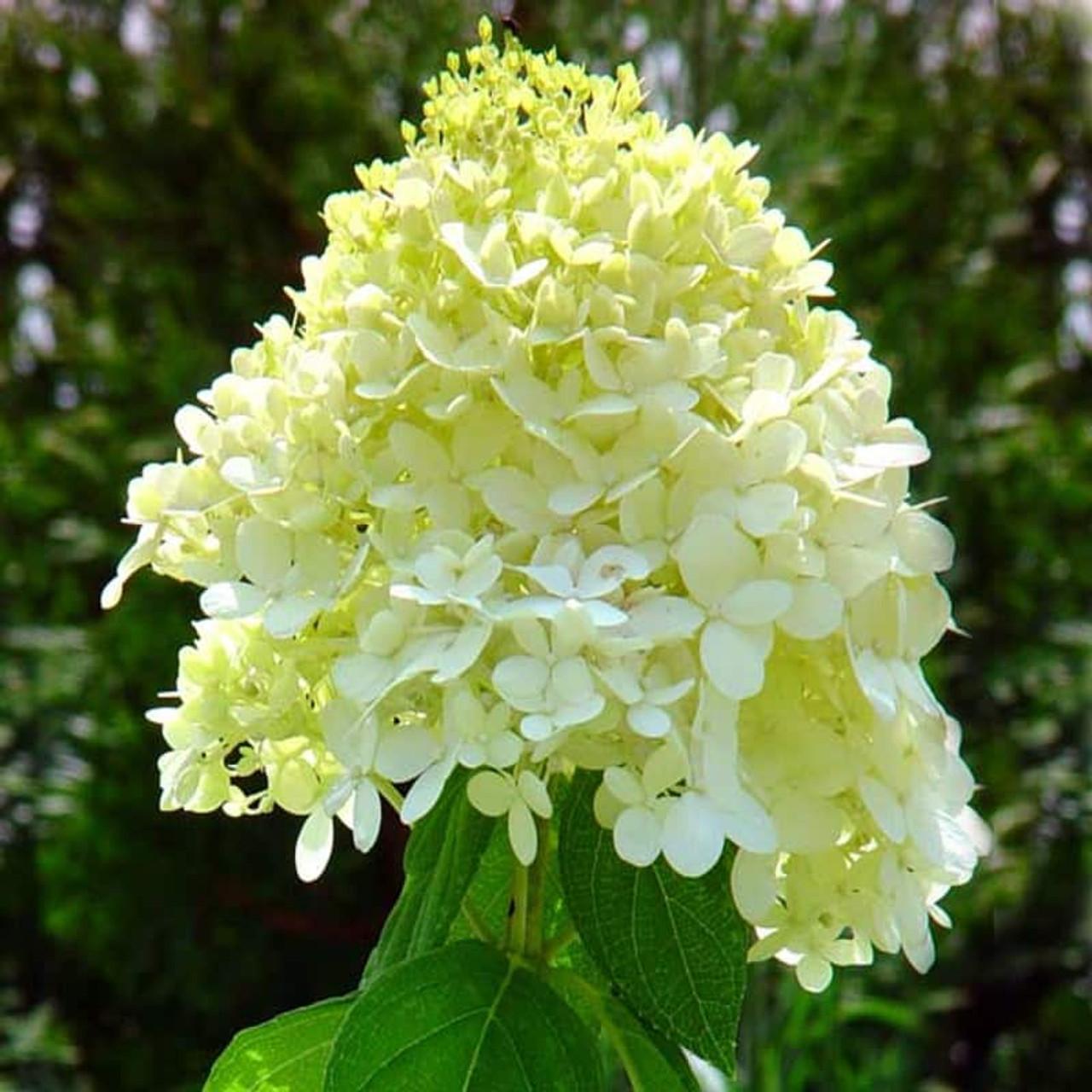 Hydrangea paniculata 39 limelight 39 for Limelight hydrangea