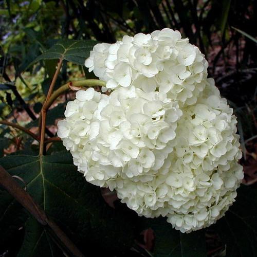 Harmony Hydrangea White Blooms