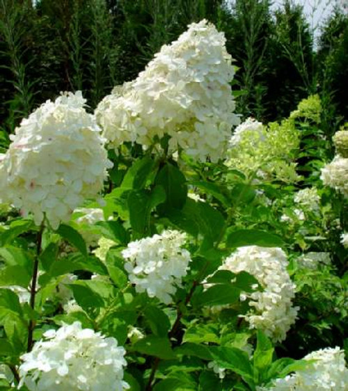 hydrangea paniculata 39 limelight 39. Black Bedroom Furniture Sets. Home Design Ideas