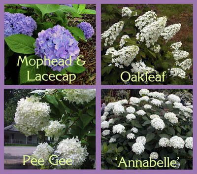 Four common species of hydrangeas