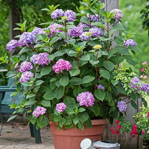 Endless Summer Bloomstruck Hydrangea Plantaddicts Com