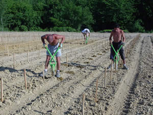 It's hard work, planting vines by hand