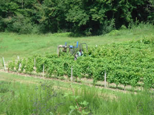 Trimming the young vines in 2007