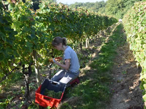 The rows are dauntingly long for pickers