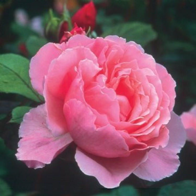 Brother Cadfael - David Austin English Roses