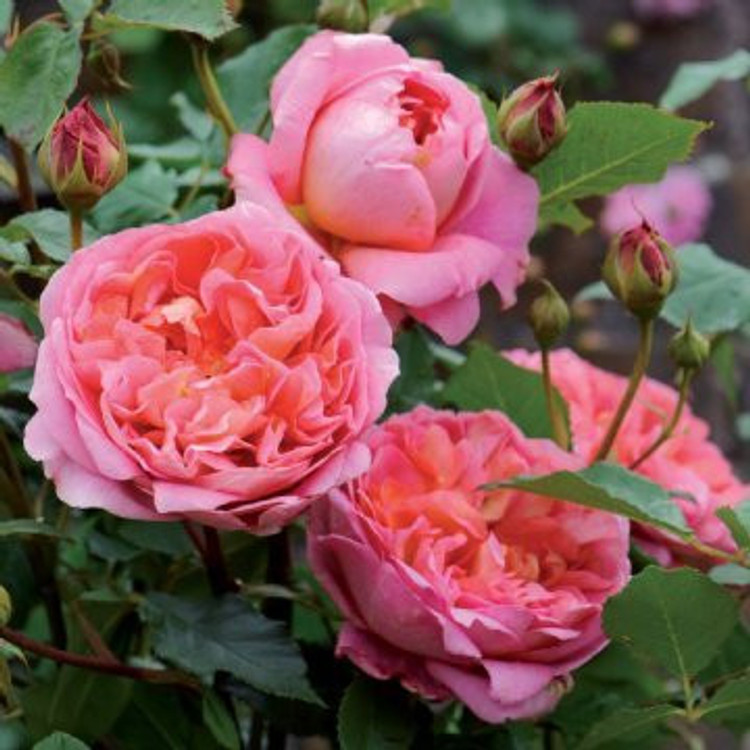 Boscobel - David Austin English Roses