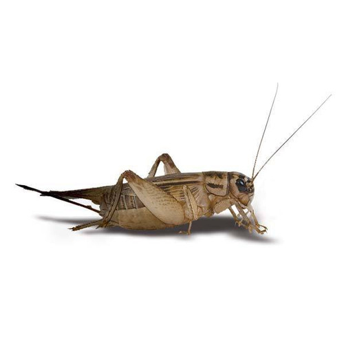 Live Crickets Farm - Order Online