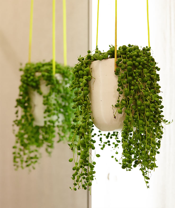 hanging basket succulent indoor house plant image from the sill